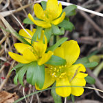 Winter aconite (SV - Vintergäck)