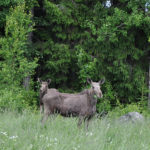 Moose and calf Edens Garden nr1
