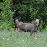 Moose and calf Edens Garden nr2