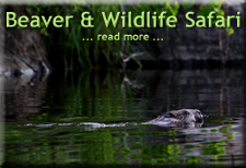 Beaver & Wildlife Safari Tour